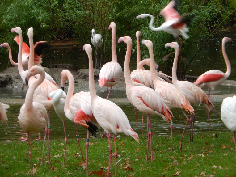 Flamingos in Arnhem